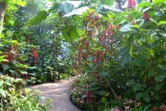 Acalypha hispida en el jardín de invierno