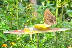 Mariposas alimentándose de cítricos