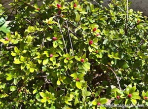 Azalea simple con pimpollos a puntos de abrirse