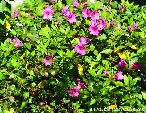 Azalea simple recien florecida a comienzos de la primavera