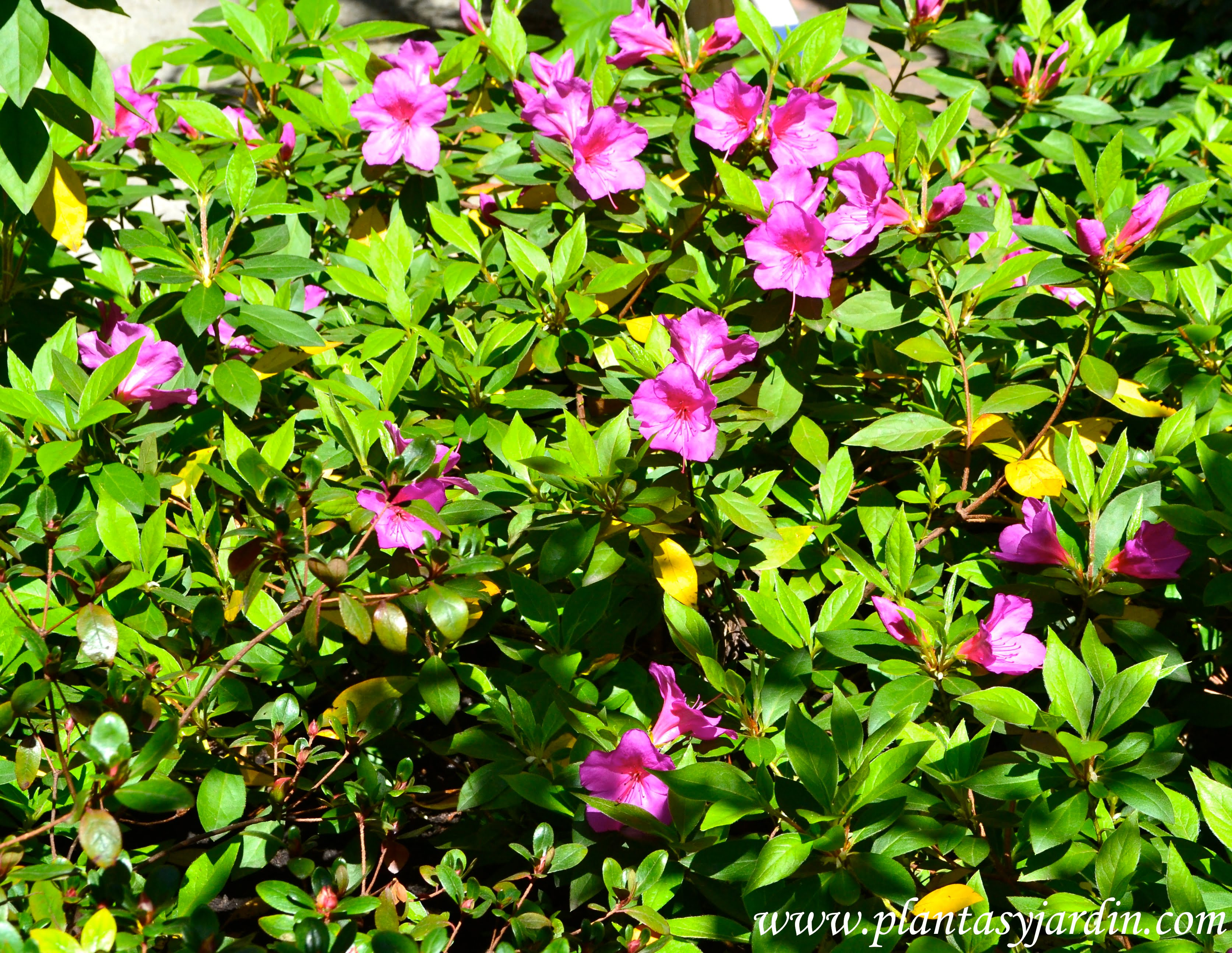 Azalea simple plantas jard n for Arbustos ornamentales para jardin