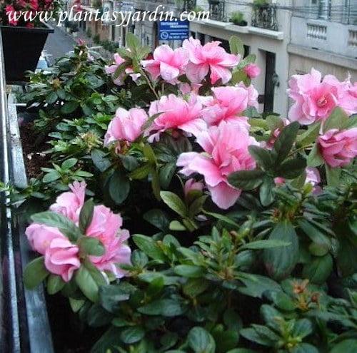 Azaleas doble rosa
