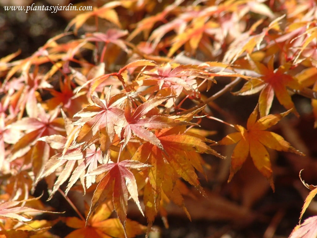 Acer palmatum Katsura detalle follaje en otoño