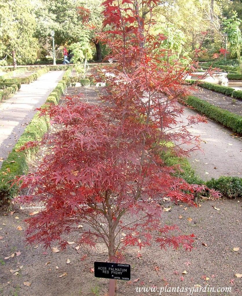 Acer palmatum Red Pygmy nativo de Japon y Taiwan