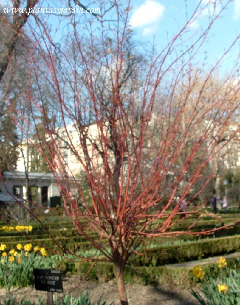 Acer palmatum Red Wood esqueleto ramas rojas