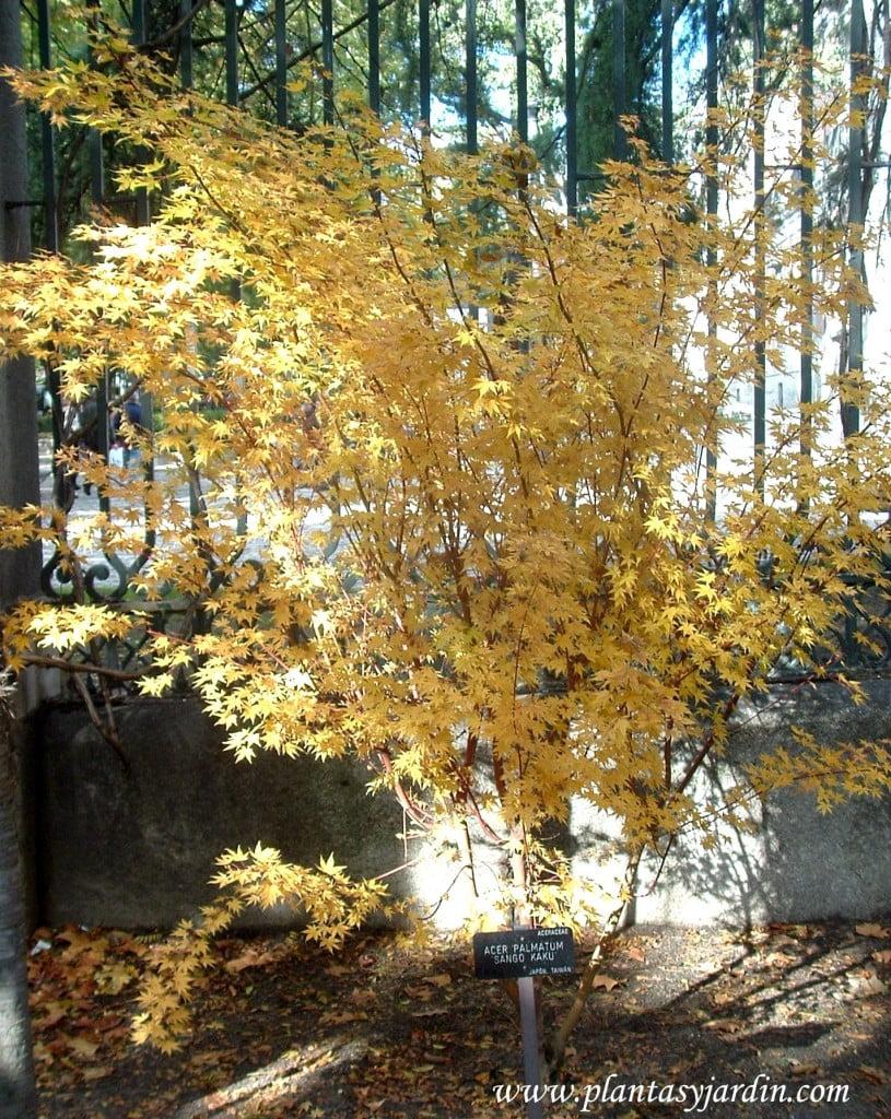 Acer palmatum Sango Kaku in autumn