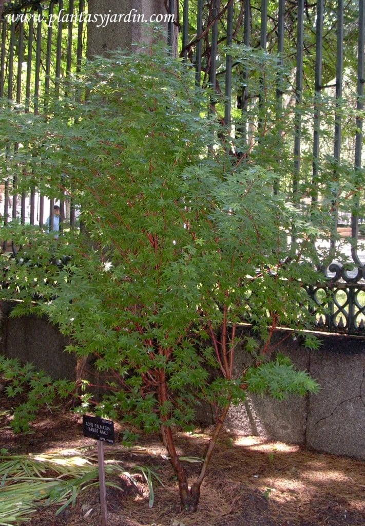 Acer palmatum Sargo Kaku