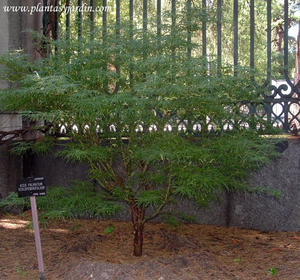 Acer palmatum Scoloperdrifolium nativo de Japon y Taiwan