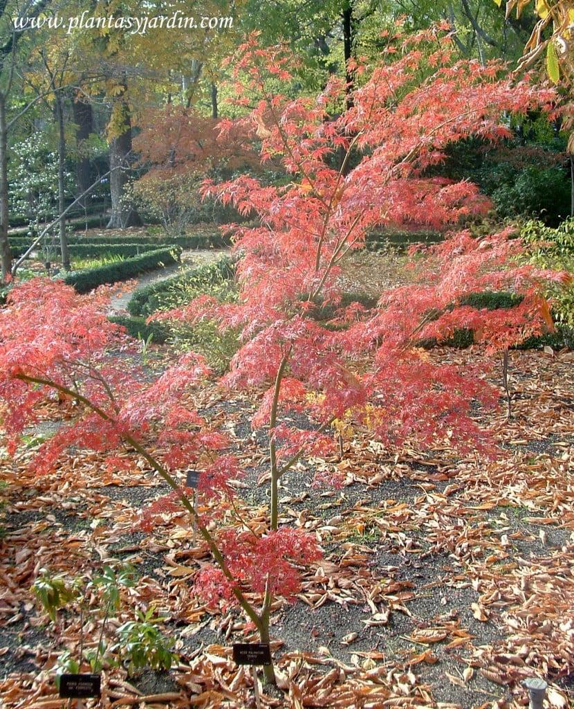 Acer palmatum Seiryu en la tardor