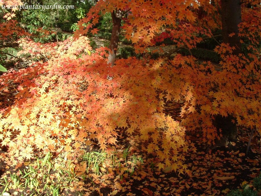 Acer palmatum detalle de follaje tardor