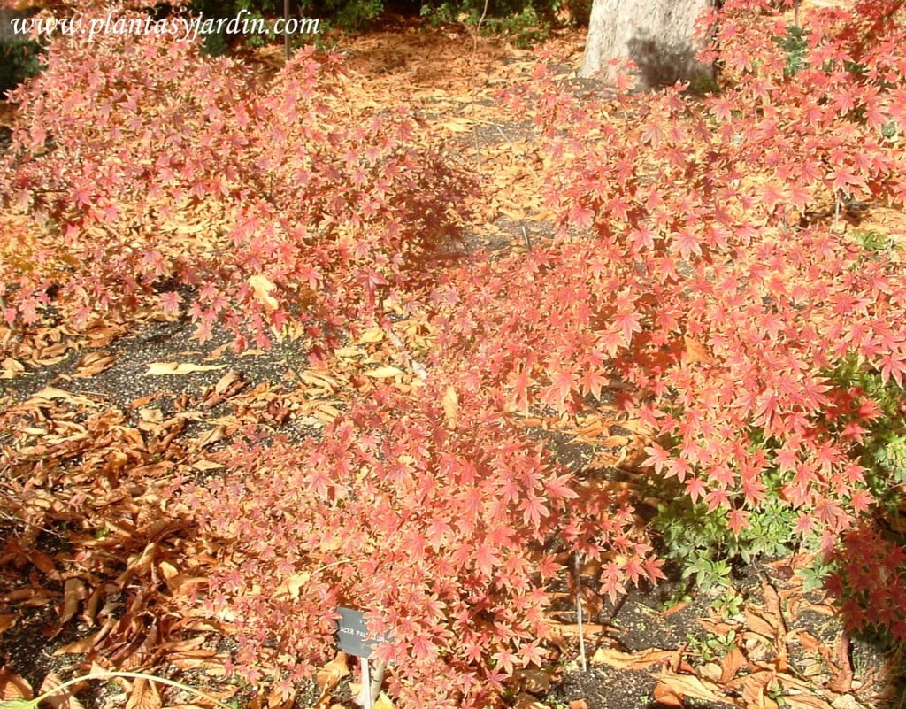 Acer palmatum in autumn