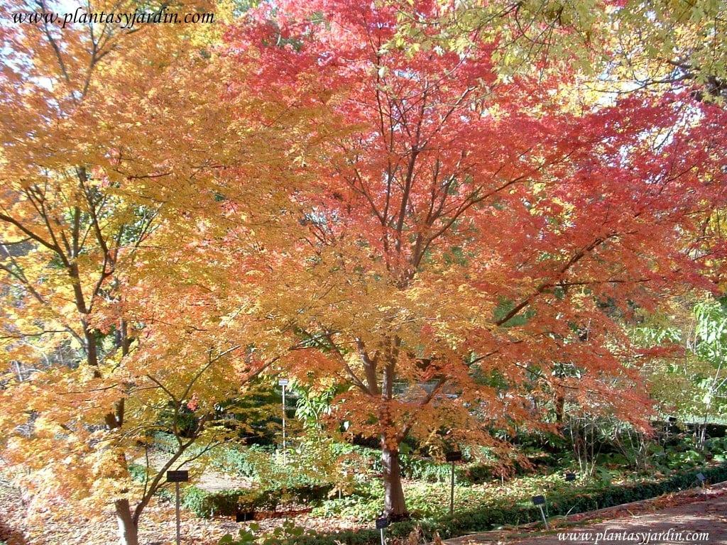 Acer palmatum rojo y amarillo en otoño
