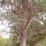Cupressus arizonica, el Ciprés de Arizona