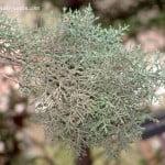Cupressus arizonica, el Ciprés de Arizona, detalle follaje