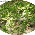 Abelia x grandiflora, detalle hoja