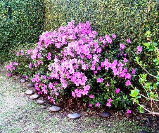 Azalea simple florecida