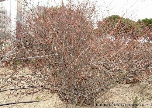 Berberis thumbergii caduco