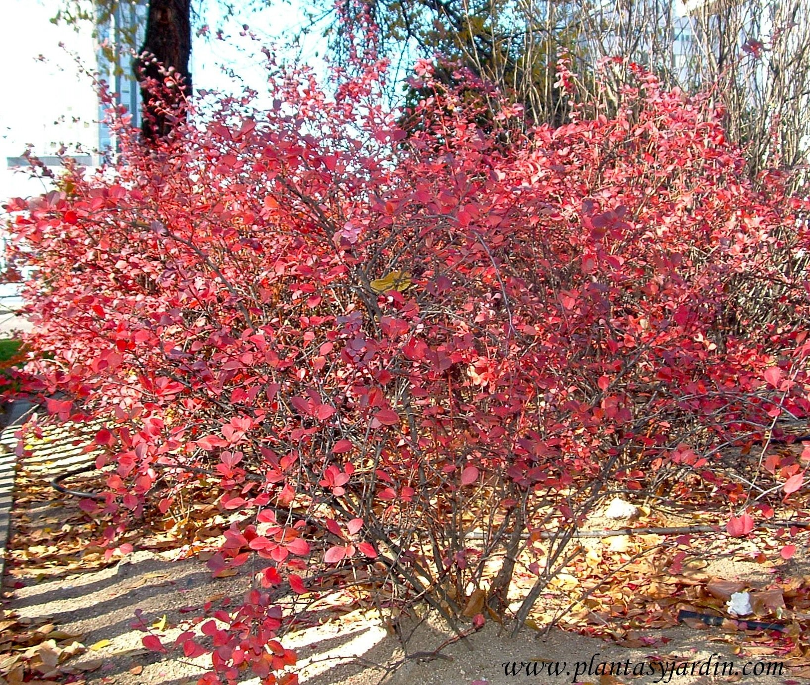 Berberis thumbergii color otoñal