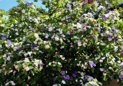 Brunfelsia australis arbusto con flores perfumadas
