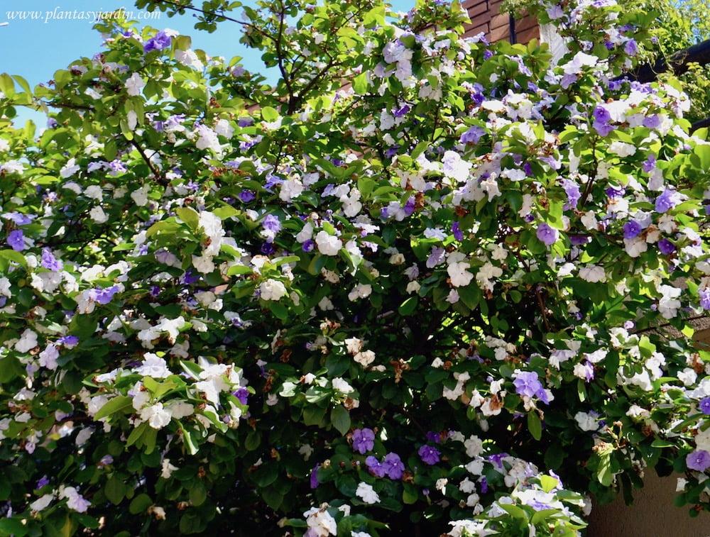 Brunfelsia australis jazm n paraguayo plantas y jard n - Arbusto pequeno con flores ...