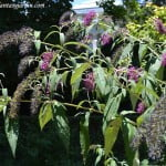 Buddleja davidii, nativa de China