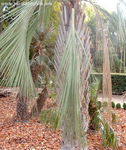 Butia yatay detalle hojas