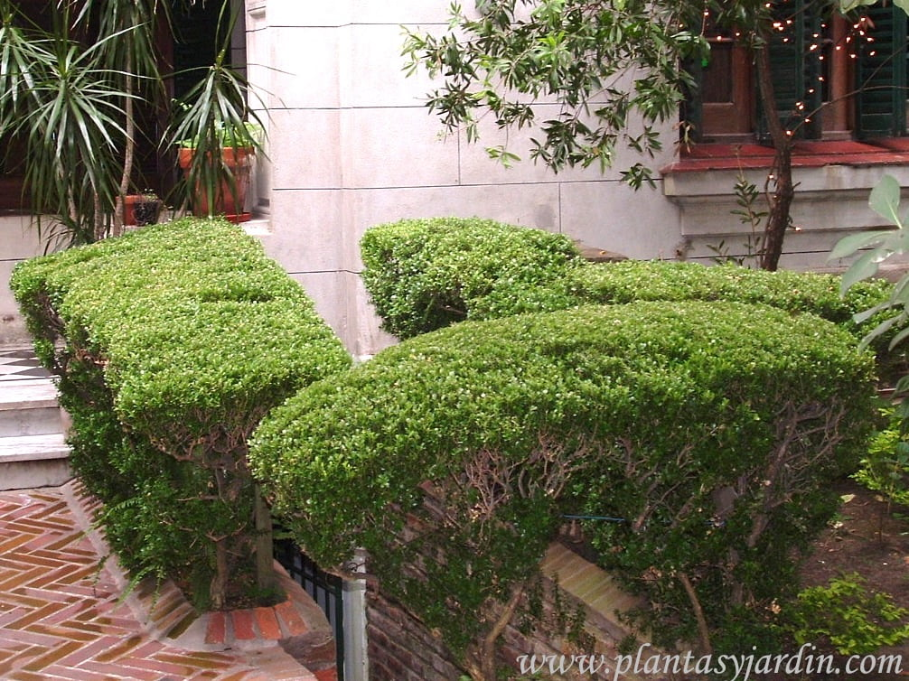 Buxus sempervirens en cerco recortado