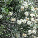 Callistemon salignus detalle de floración y hojas
