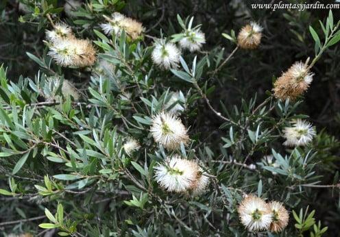 Callistemon salignus, detalle floración
