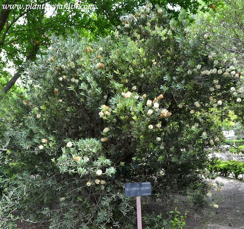 Callistemon salignus, florecido en primavera