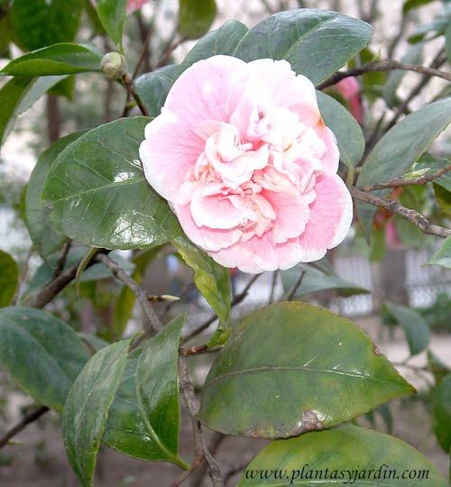 Camelia japonica detalle de flor & hoja