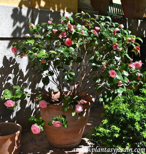 Camelia japonica flor color rosa florecida a ppios de la primavera
