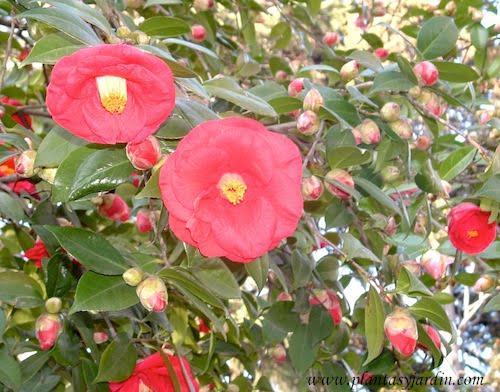Camellia japonica Adolphe Audusson detalle flor