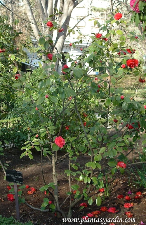 Camellia japonica Camelio