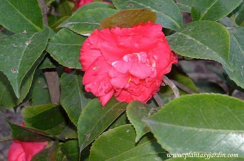 Camellia japonica flor roja