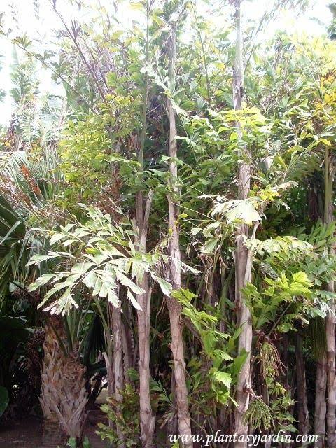 Caryota mitis- Palma escalera