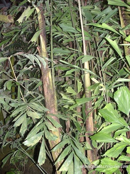 Caryota mitis, detalle estípite multicaule y foliolos flavelados en forma de cola de pez