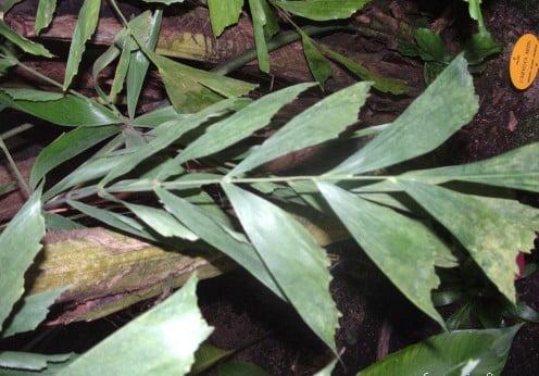Caryota mitis detalle follaje folíolos flavelados
