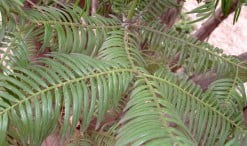 Cephalotaxus fortunei