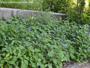 Ceratostigma plumbaginoides en macizo floral