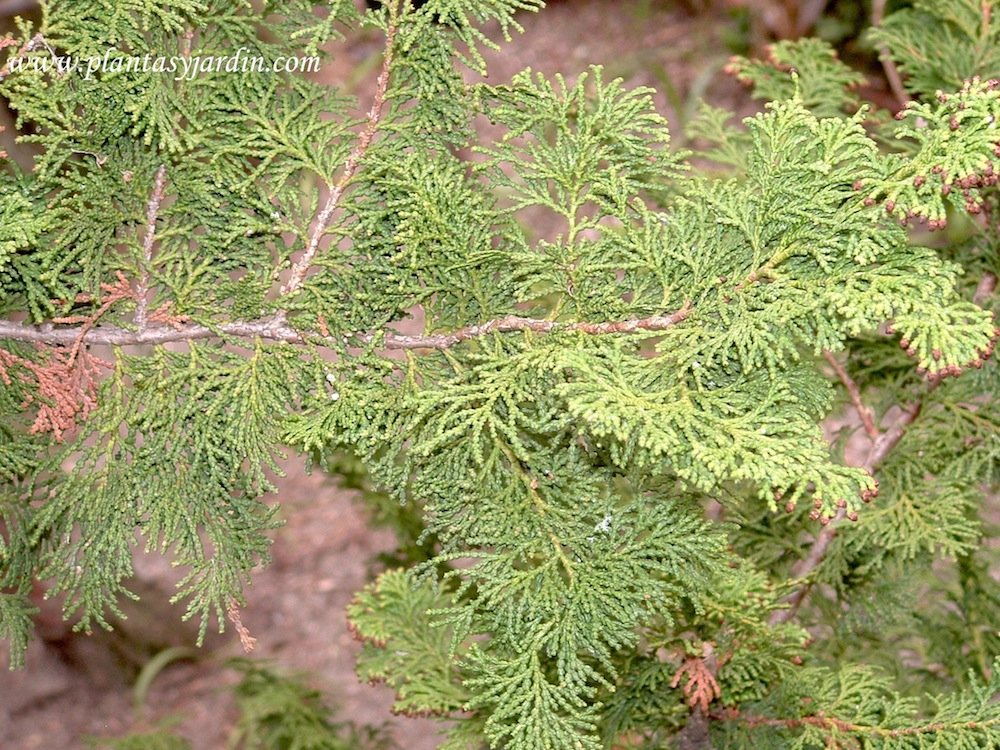 Chamaecyparis obtusa detalle follaje
