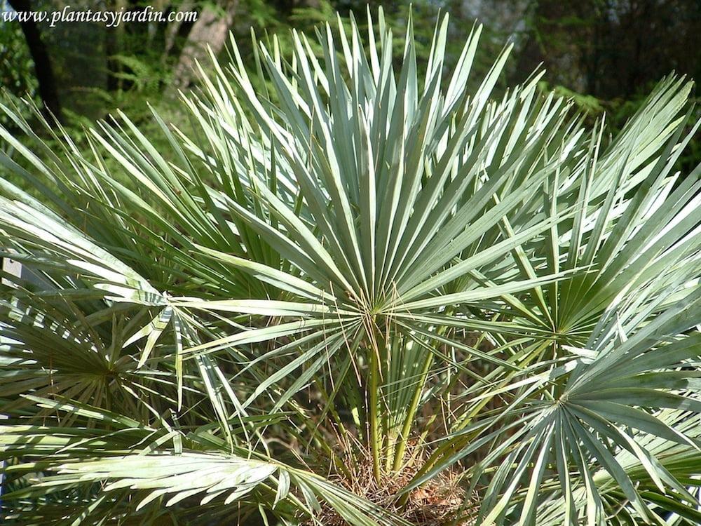 Chamaerops humilis detalle de las hojas palmadas