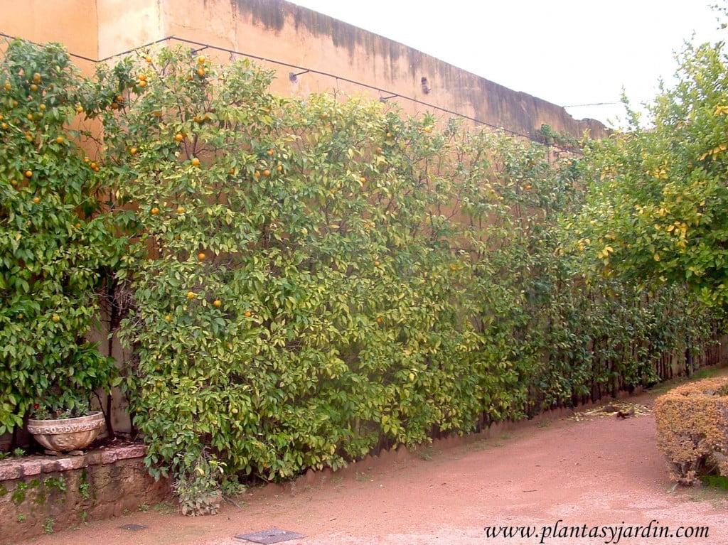 Citrus sinensis como cerco podado