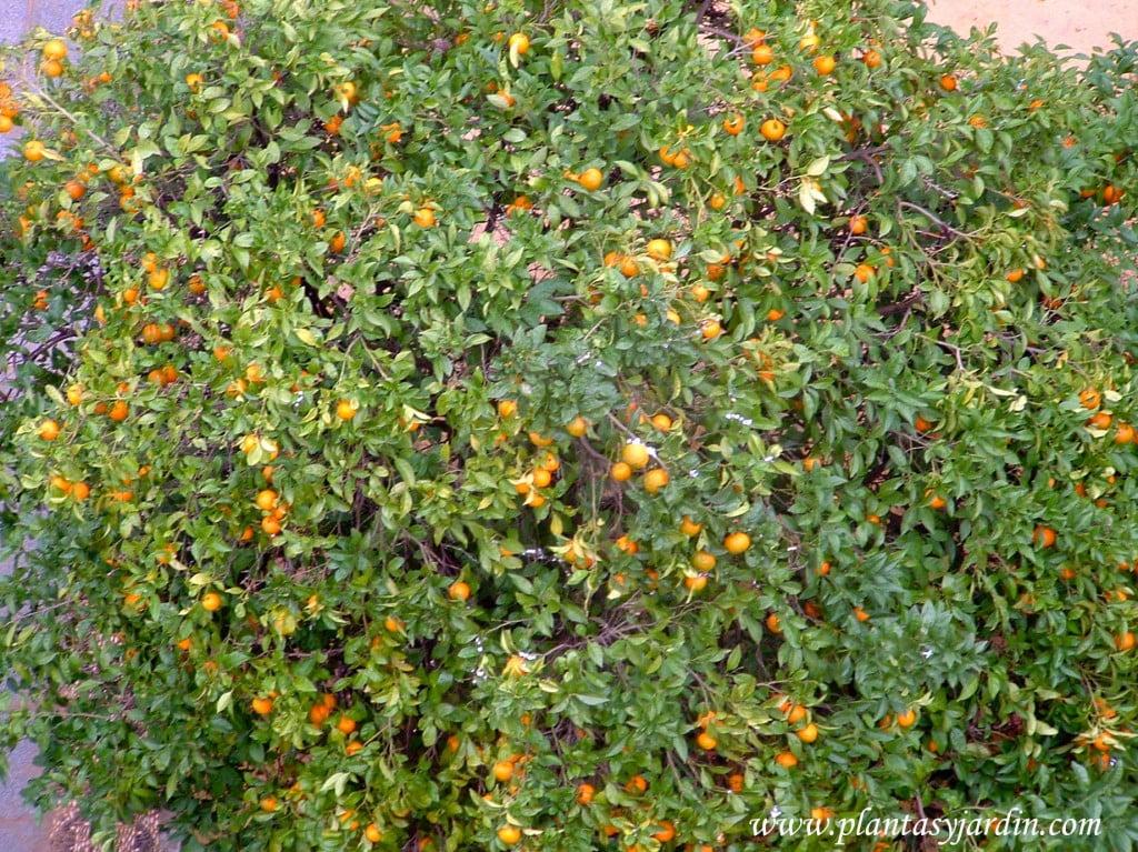 Citrus sinensis en funcion de cerco recubriendo una pared