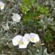 Convolvulus cneorum nativo de la región mediterránea detalle floración y follaje