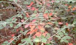 Cotoneaster franchetii, detalle follaje, color otoñal
