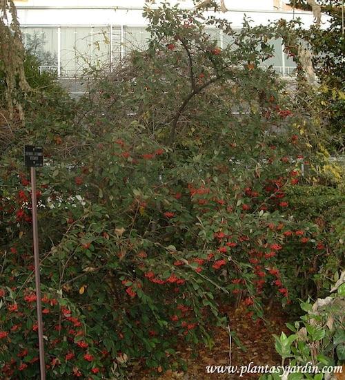Cotoneaster glaucophyllus, en otoño