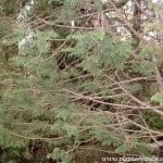 Cupressocyparis leylandii detalle ramas
