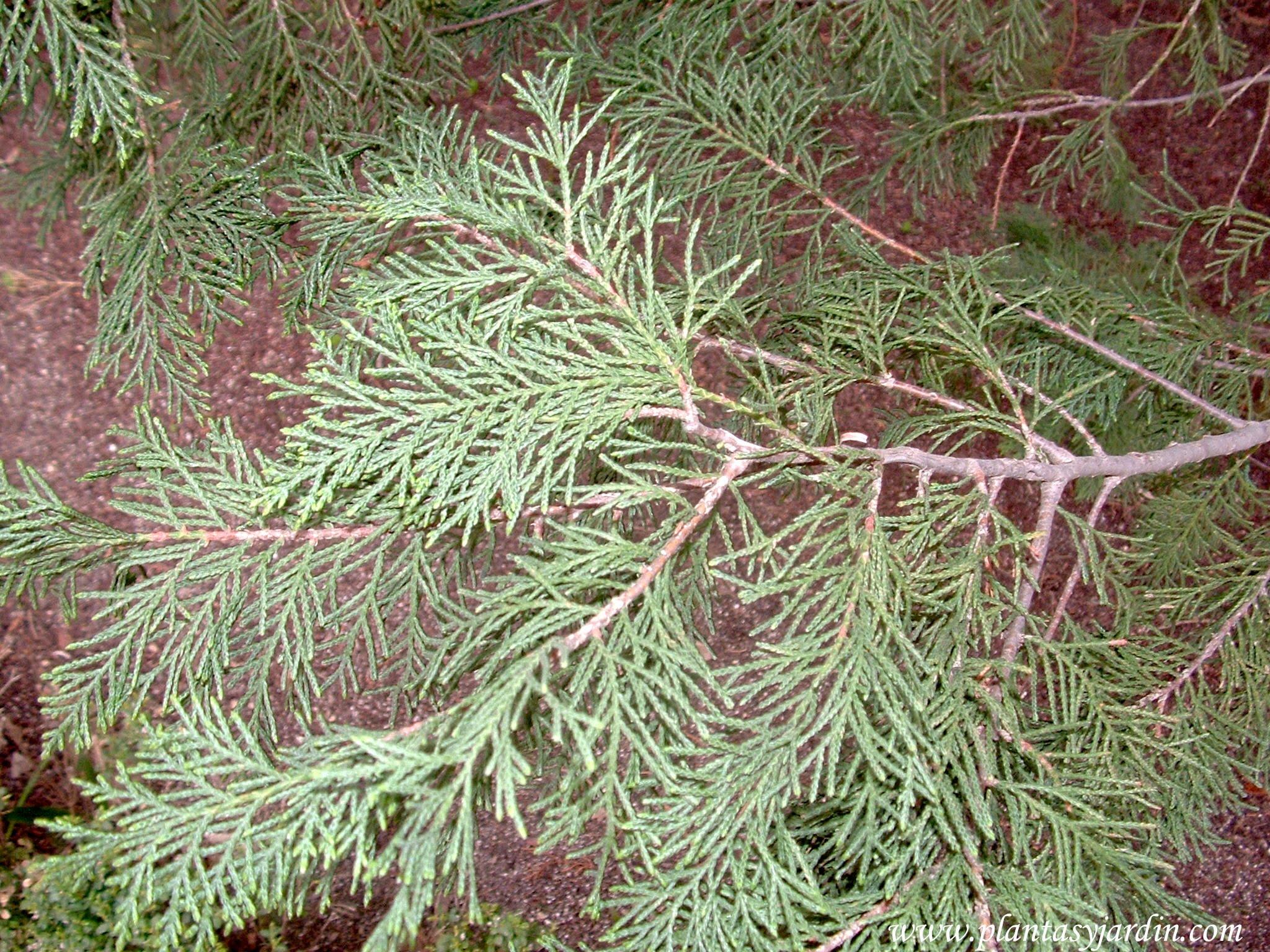 Cupressosyparis leylandii detalle follaje