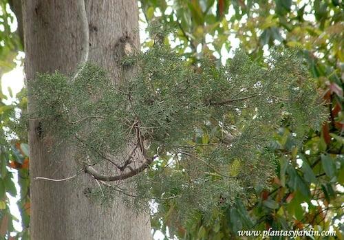 Cupressus sempervirens Cipres detalle de hoja escamiformes y tronco